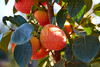 Persimmon fruits in trees field agriculture