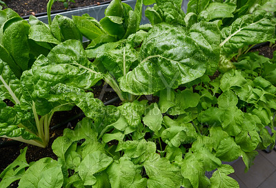 Urban homestead with lettuces