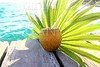 coconuts cocktail palm tree leaf in Caribbean