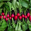 Fresh radishes on black rustic background.