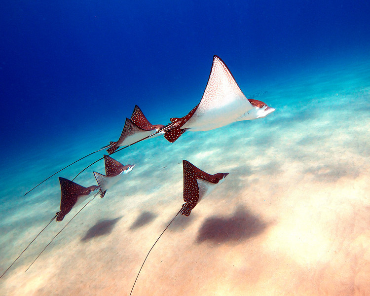 EAGLE RAYS AT BLACKROCK, MAUI