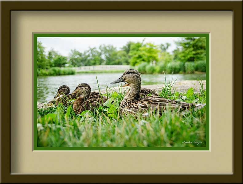 """St. Louie Ducks"" (Captured in St. Louis at Forest Park, 2013)"