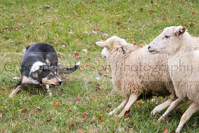 A Border Collie rounds up sheep during the Ten Rod Farm Sheep Dog Trial held in Rochester Saturday. Photo by Scott Patterson/Fosters.com