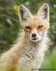 RED FOX - THE SCOUT