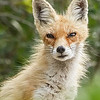 FOXES : 1 gallery with 8 photos