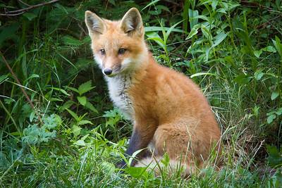 Young Fox, Gulf Shore NS