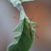Stilt Bug