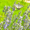 Butterfly on Blooming Lavender.