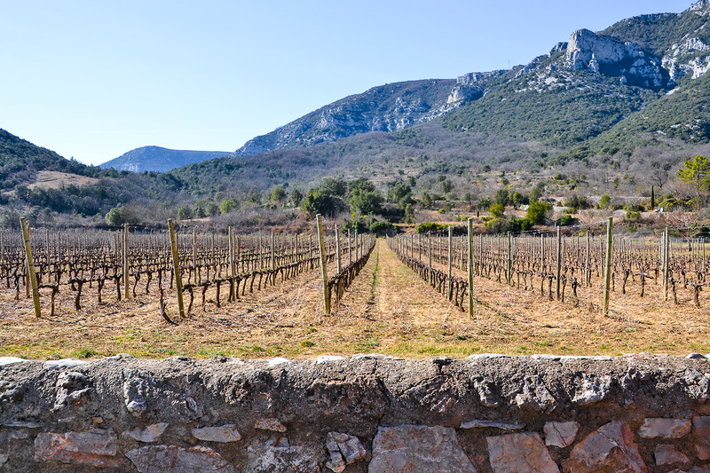 Vineyard<br /> Saint-Jean-de-Buèges<br /> Languedoc-Roussillon, South France