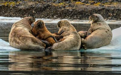 Walrus colony, Prince George Land, Franz Joseph Land
