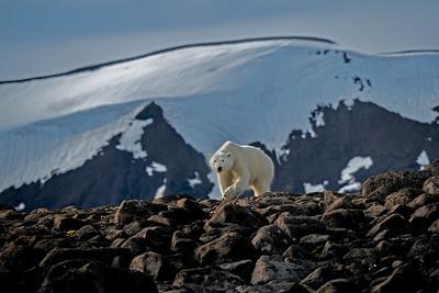 Polar Bear - Stohichka Island, Franz Joseph Land