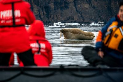 Walrus with calf on ice floe-Smith Bay