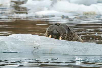 Walrus on ice floe-Smith Bay