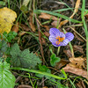 Winter Crocus - there were a few of these on the far wall side