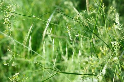Wild Barley