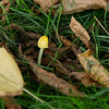 Bolbitius titubans or yellow field cap, one of the last finds on the walk