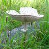 Mature parasol mushroom