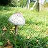 Young Parasol Mushroom