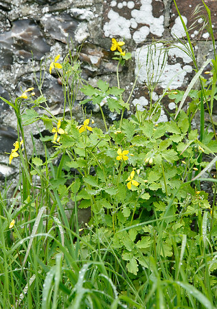 Greater Celandine (not relation to the Lesser variety)