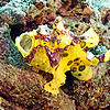 WARTY FROGFISH  (JUVENILE)  YELLOW PHASE