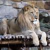 FULL BODY MALE LION