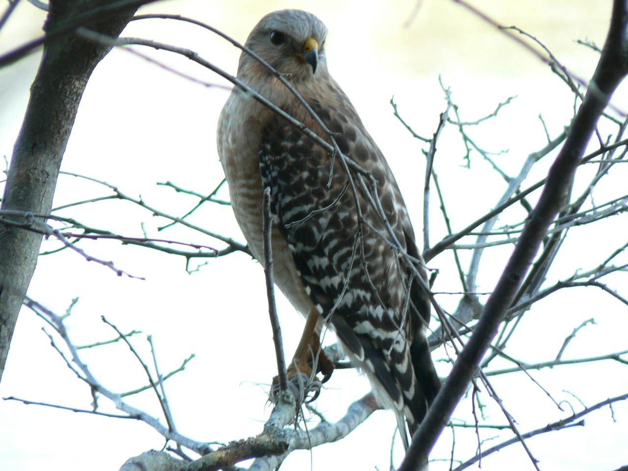 Red-shouldered Hawk<br /> Photo by George Meek