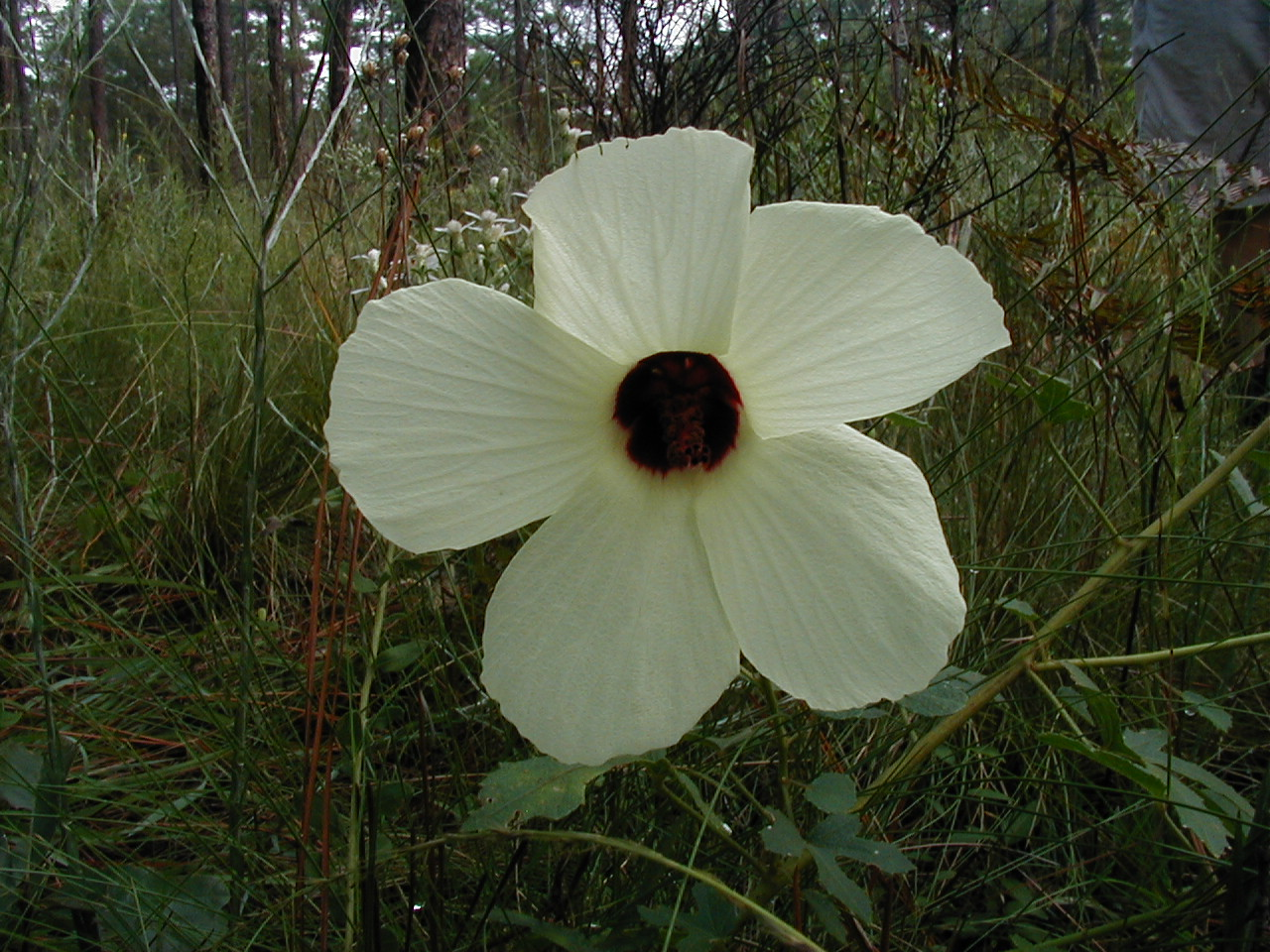 Hibiscus<br /> Photo by Bob Woods