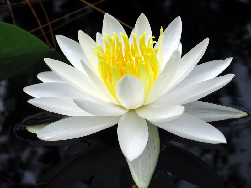 Water Lily<br /> Photo by Brian O'Halloran