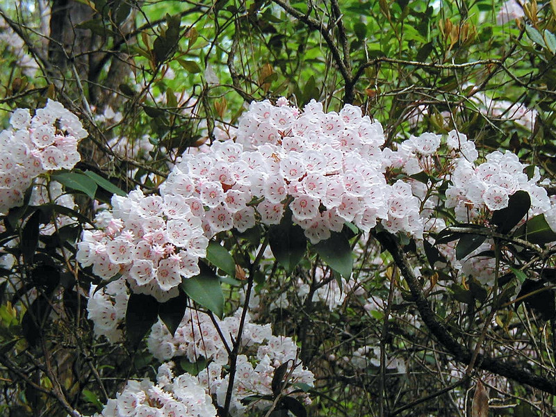 Mountain Laurel<br /> Photo by Deb Blick