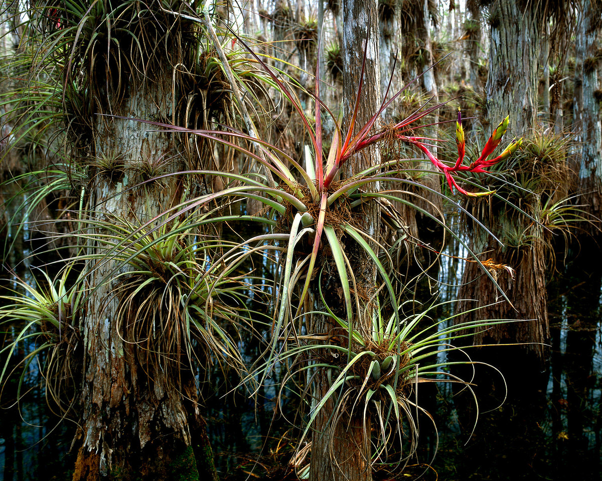 Bromeliads<br /> Photo by Peter Nolan