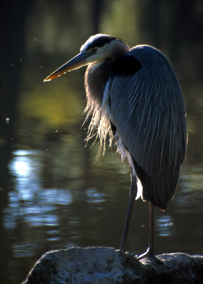 Great Blue Heron<br /> Photo by Deb Blick
