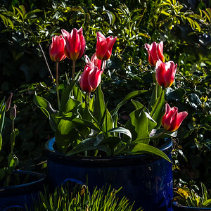 Tulips at their Peak