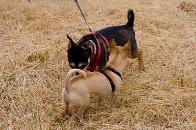 Doggies' yin yang