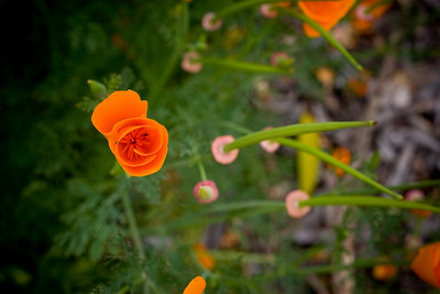 Poppies everywhere