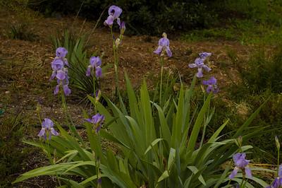 Western Blue Iris (Iris missouriensis)