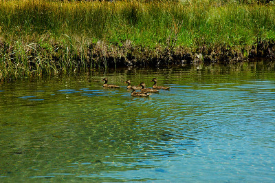 "Duck families are here ""locals""."