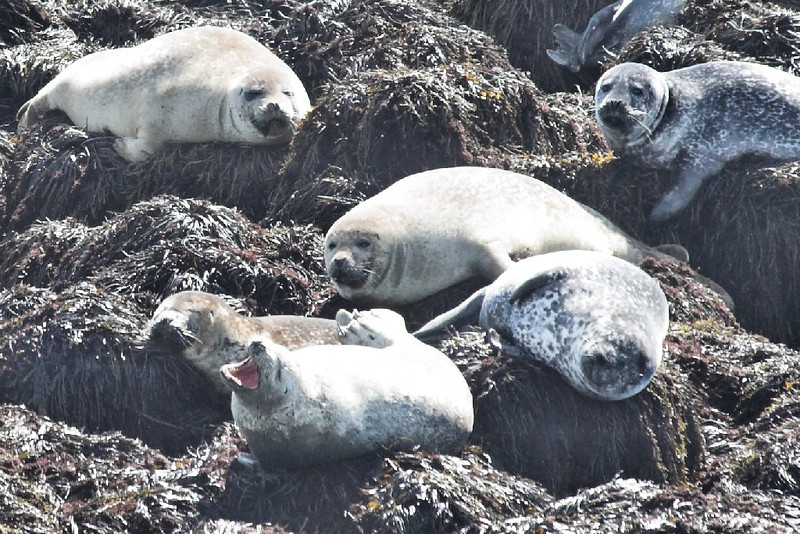 Grey seals, Gull Island