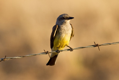 Western Kingbird.  They are very common here.  I love watching these birds dive for flying insects.  They build large nests in trees, poles or buildings.