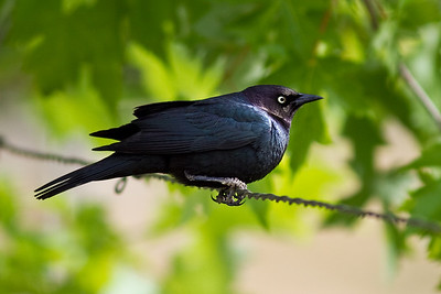 Brewer's Blackbird - At least I think so.  In my Audubon book he fits the blackbird description best.  They eat a lot of bugs and grubs in the grass.  They build their nests with twigs and mud and line it with finer materials.  Usually close to the ground in bushes or even on the ground.