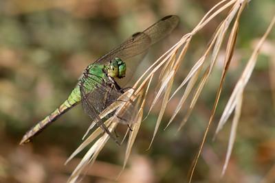 Western Pondhawk - female