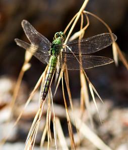 Female Western Pondhawk