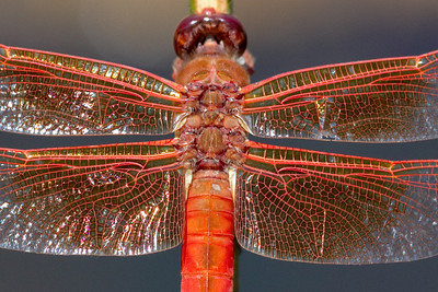 Flame Skimmer wing detail