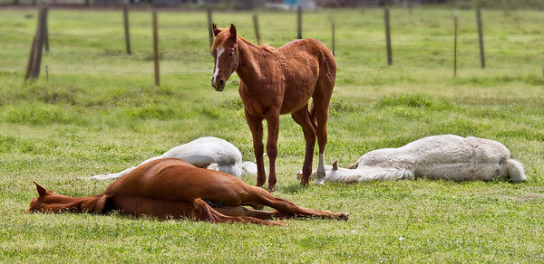 When I first saw these youngsters there were four of them lying down in a circle with the lone colt standing.  I ran to get my camera and when I got back one had gotten up - where the blank space is.  Darn it!