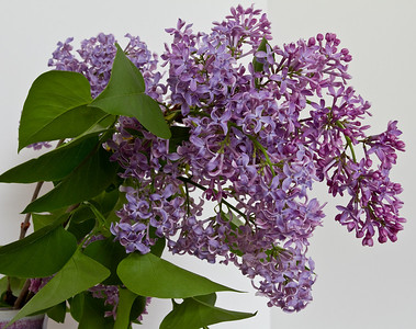 April 12 Lilacs - can't you just smell them!
