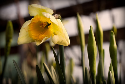 Yes, I was lying on the ground to take these.  First of Feb. and the first daffodils emerge!