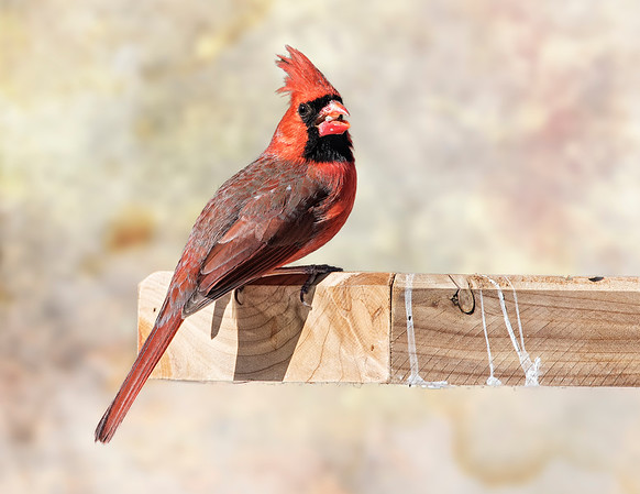 Male Cardinal (at the feeder)
