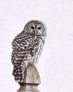 New England Barred Owl