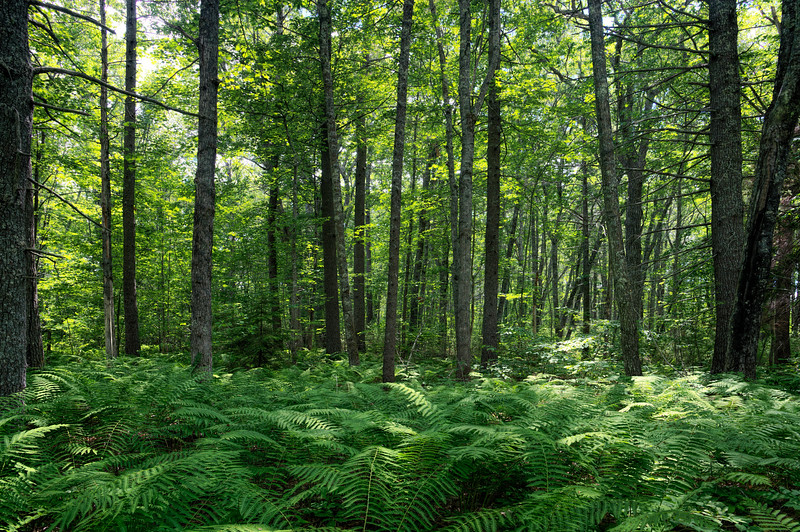 Forest Floor of Ferns