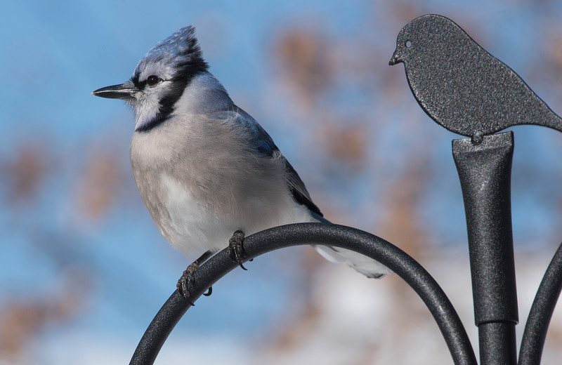 Bluejay and Buddy