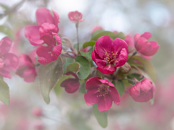 Crab Apples in Bloom